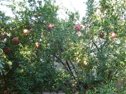 Reife Granatäpfel, welch eine Prach !
