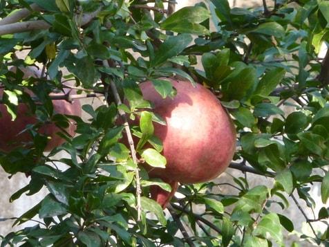 Reife Granat äpfel, eine Prach !