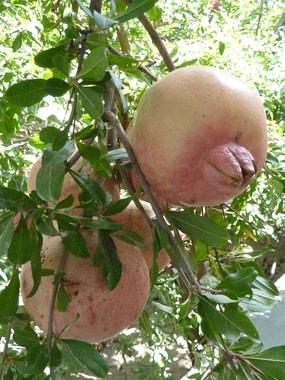 Reife Granatäpfel, welcheine Prach !