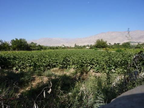 Feld mit Auberginen
