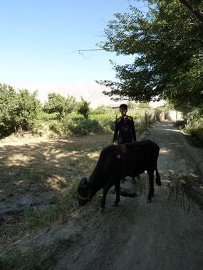 Der Junger hütet die einzige Kuh der Familie